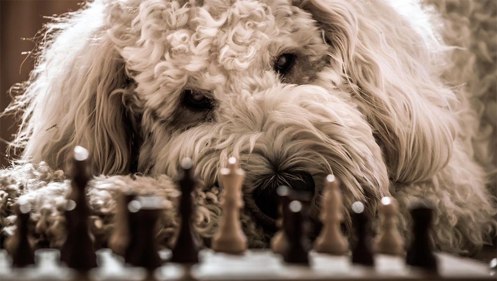 labradoodle dog playing chess
