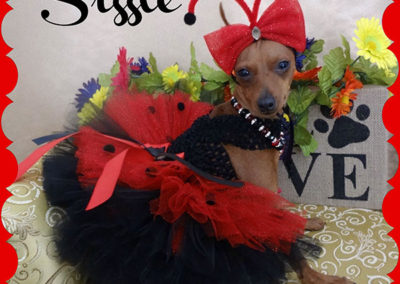 Sizzle the dog dressed up as a lady bug for halloween wearing a red and black dress and a headband with red antennae.
