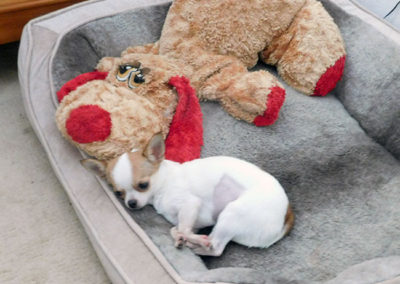 Hope, a white and tan chihuahua lays in her dog bed with an oversized stuffed dog.