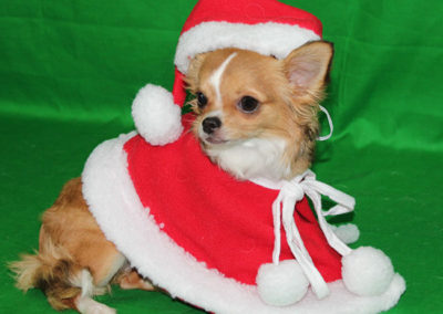 Lilli, a golden long haired chichuhua is wearing a Christmast hat and dress