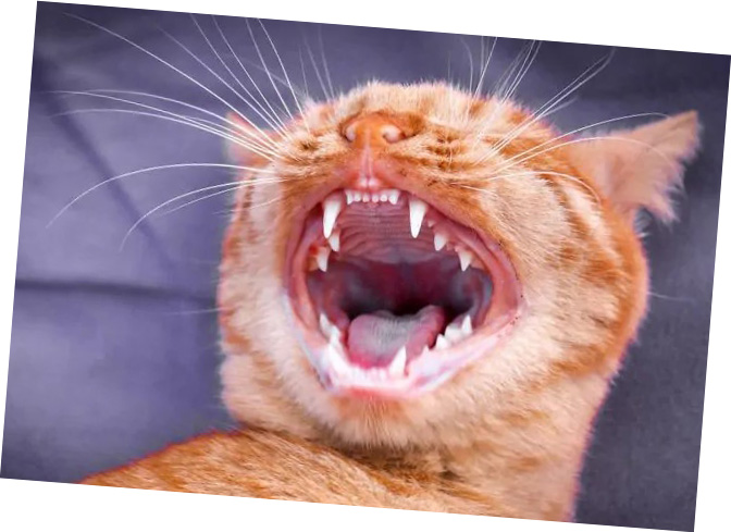 Clean Kitty Teeth, Cats n Dogs Pet Store