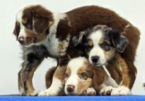 puppy-twist-Advance-Canine-Development