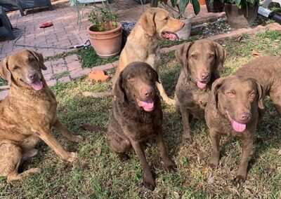 Chocolate Labradors Cooper, Ivy, Josie, Chance and Nokosi