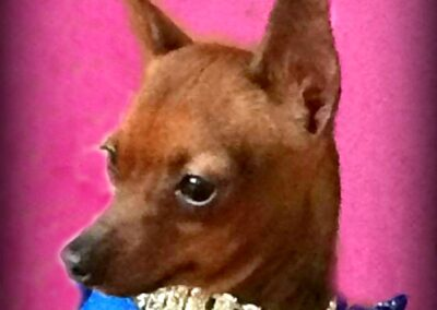 Small brown dog with a gold color and blue sparkly dress