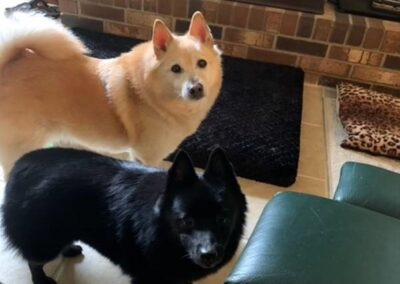 A white dog and a black dog look at the camera
