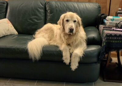 Large white dog sits on a black couch