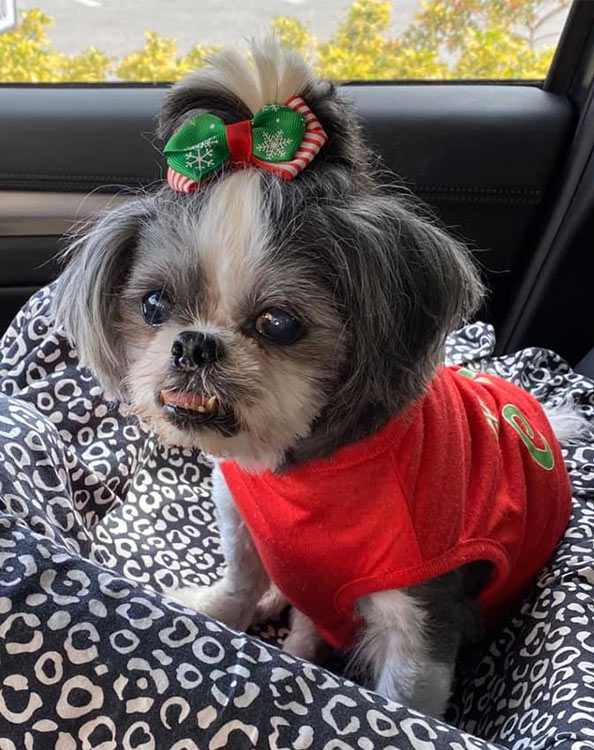 Black and white Shitzu with a Christmas bow on its head and a Christmas sweater