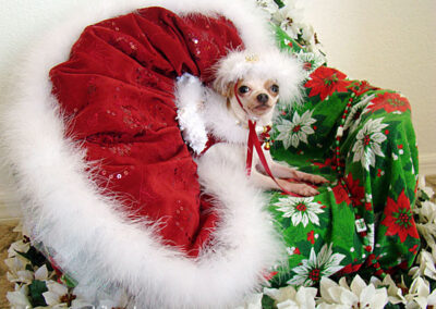 White chihuahua in a giant red Christmas skirt on a poincettia matt